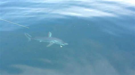 mako shark boats mako shark jumping into boat