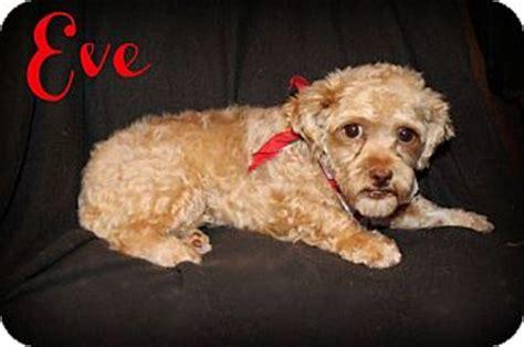 arizona shih tzu and small breed rescue az poodle shih tzu mix meet a for adoption