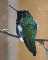 1000 images about hummingbirds on pinterest youtube