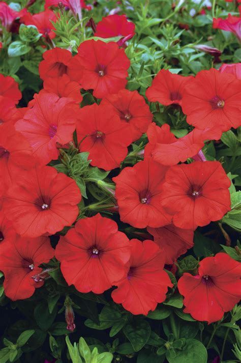 surfinia 174 red petunia hybrid proven winners