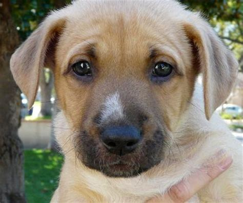 shepherd mix puppies for sale australian shepherd lab mix puppies for sale in michigan breeds picture