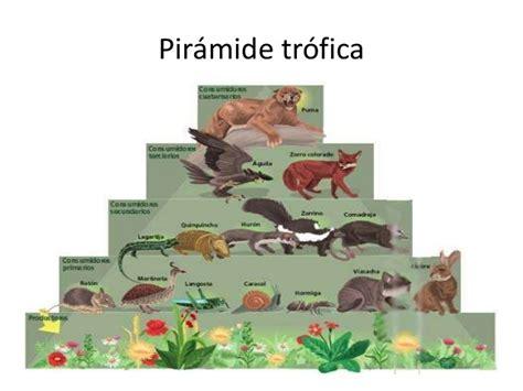 cadenas troficas del paramo piramide trofica de animales imagui