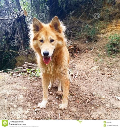 alaskan husky and golden retriever mix golden retriever malamute mix assistedlivingcares