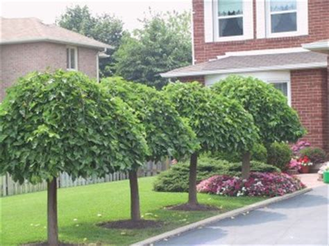 non fruiting mulberry tree weeping mulberry fruiting nurseries