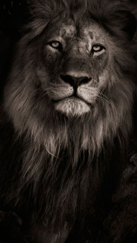 wallpaper black lion black lion iphone wallpaper