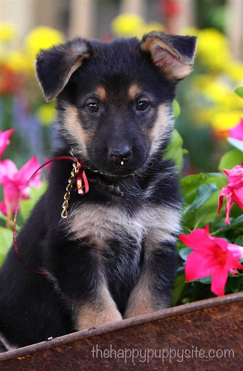 what to look for when buying a puppy what to look for when buying a puppy the happy puppy site