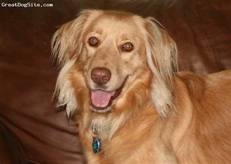 golden retriever rescue south australia a photo of a 3 gold australian retriever 60 lb golden