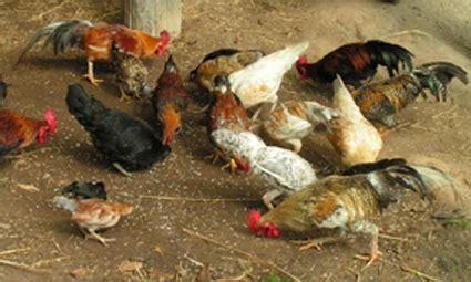 Bibit Ayam Organik rumah hijau organik budidaya ternak ayam kung
