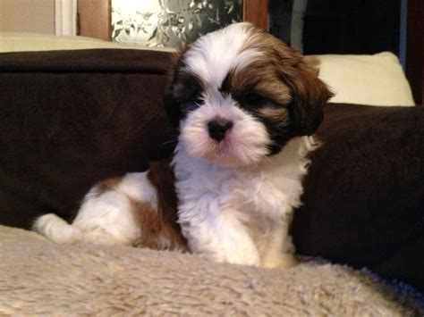 white and brown shih tzu beautiful golden brown and white shih tzu lancashire pets4homes