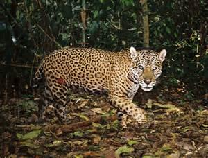 Jaguar Panthera Onca Facts Traps In Peru Wwf