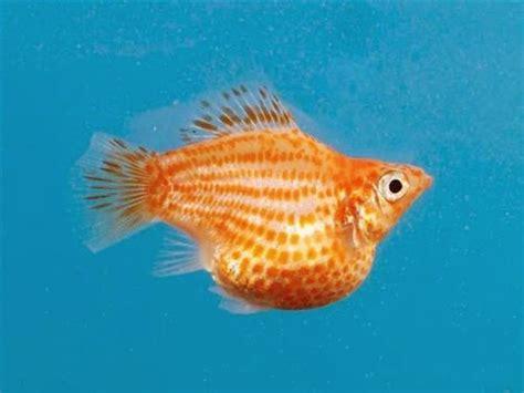Makanan Ikan Cupang Agar Warnanya Cerah mans production ikan molly balon