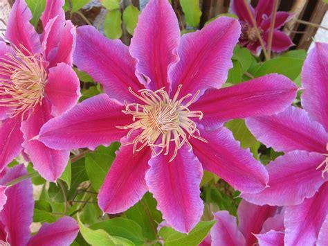 fiore di maggio fiori di maggio oculus perpetuus