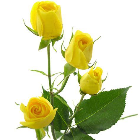 imagenes de rosas rosadas image gallery rosas amarillas