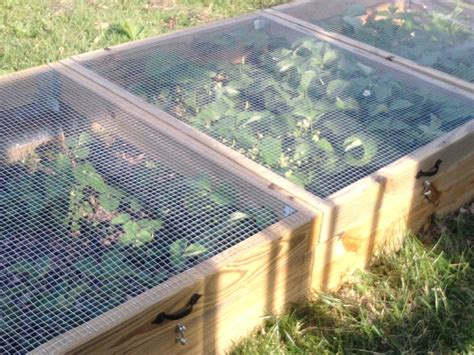 how to plant strawberries in a raised bed grow strawberries keep the critters out but still let in