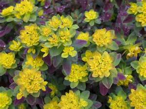 perennial shrub with yellow flowers forget the flowers shrubs and a mention of perennials