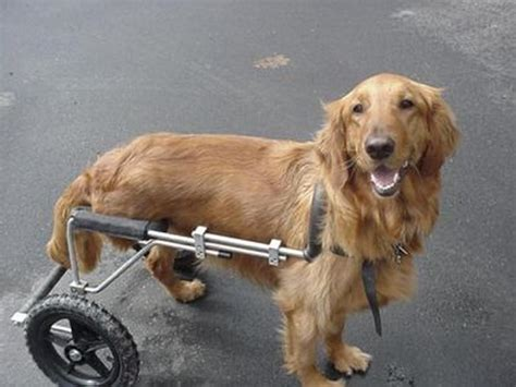 golden retriever wheelchair maggie eddie s wheels for pets the pet mobility experts
