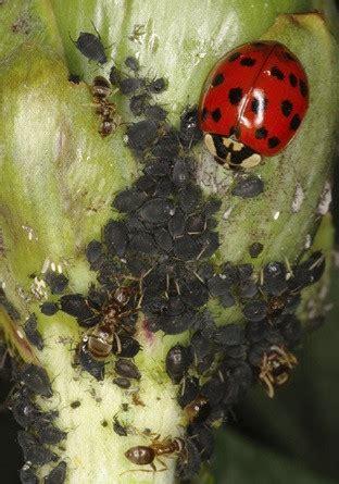 A Wedding On Ladybug Farm beneficial insect ladybug vermont organic farm cedar