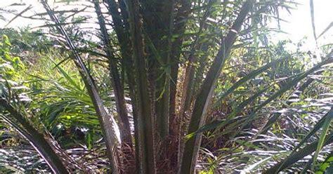 Bibit Kambing Di Bengkulu bibit benih unggul kelapa sawit di bengkulu bibit sawit