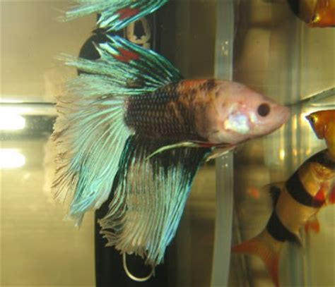 betta fish changing color marble betta fish color changing genes betta fish care