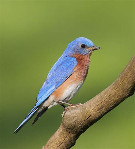 treknature eastern bluebird photo