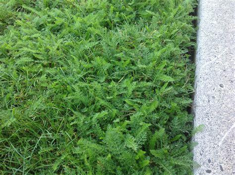 backyard full of weeds invasive summer yard weed ask an expert