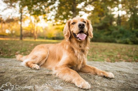 golden retriever nashville nashville photography kona owen cloudlight studios