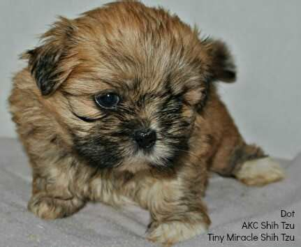 brown and black shih tzu names for a brown select from hundreds of choices