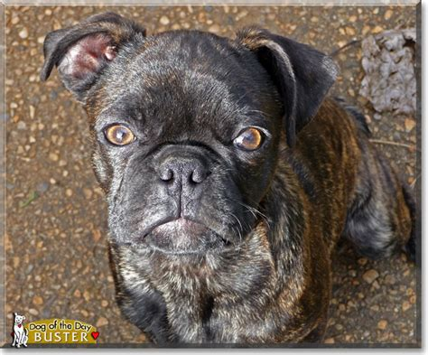 html to pug converter pug boston terrier mix 20 high resolution wallpaper dogbreedswallpapers
