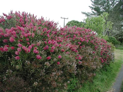 Garden Bushes With Flowers Bottlebrush Pruning Info Learn How And When To Prune Bottlebrush