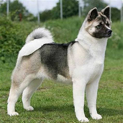 how much are akita puppies akita puppies diet pictures habitat behaviour cycles