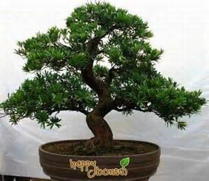 bonzi tree bonsai trees tree species commonly used for bonsai trees