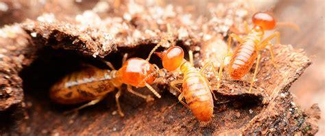 termite pest control steves pest control residential