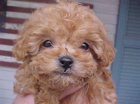 apricot poodle puppy for sale illinois breeder poodle puppies miniature poodles puppy moyen poodle