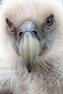 17 best images about vultures on pinterest wildlife