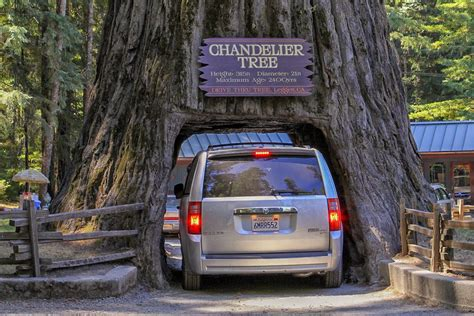 Chandelier Tree In The Drive Thru Tree Park Redwood Forests In California Where To See The Big Trees