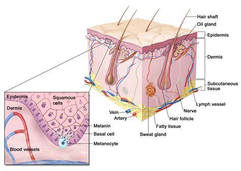 skin section diagram skin layers epidermis dermis subcutaneous va