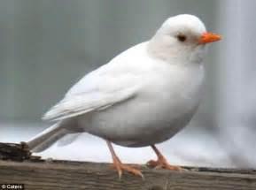 la foto curiosa giorno il merlo bianco ornitologia