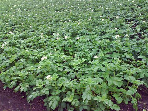 Bibit Pohon Okra mengenal hama tanaman budidaya kentang