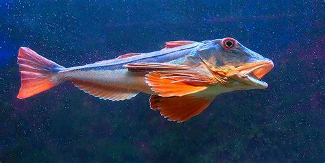 come si cucina il pesce gallinella come si cucina gallinella di mare ricette popolari sito