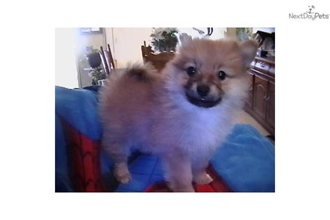pomeranian puppies for sale in lubbock pomeranian for sale for 800 near lubbock aebe4f26 9f51