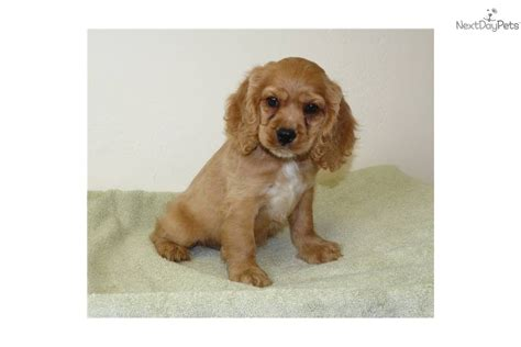 cocker spaniel puppies for sale in missouri cocker spaniel puppies rescue and adoption near you signs of a attack
