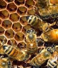 Paket Madu Lebah Mellifera Asli 3 Jenis Nektar anim agro technology madu lebah apa dia