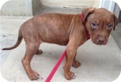 doberman pitbull puppies boy puppies adopted puppy santa ca doberman pinscher pit bull terrier mix