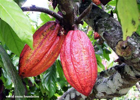 Bibit Kakao Sambung Pucuk 8 langkah remajakan pohon kakao bebeja