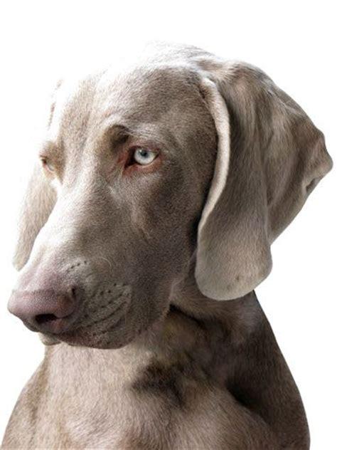how much are weimaraner puppies 25 best ideas about weimaraner on blue weimaraner puppy pointer and
