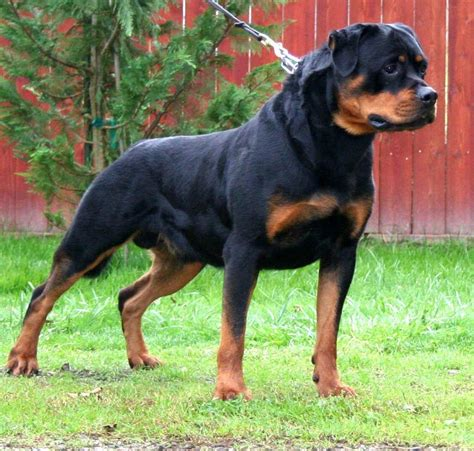 american rottweilers german american rottweiler in breeds picture