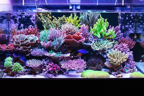 masanao shibuya s sps reef tank is bordering on perfection acropora coral featured reefs
