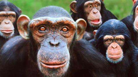 imagenes comicas de monos de no creer sacrificaron a 57 monos por una ins 243 lita raz 243 n