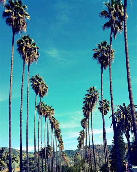 California Palm palm trees in los angeles california palm tree lined