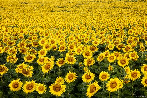 sunflower farm sunflower fields forever a creative adventure